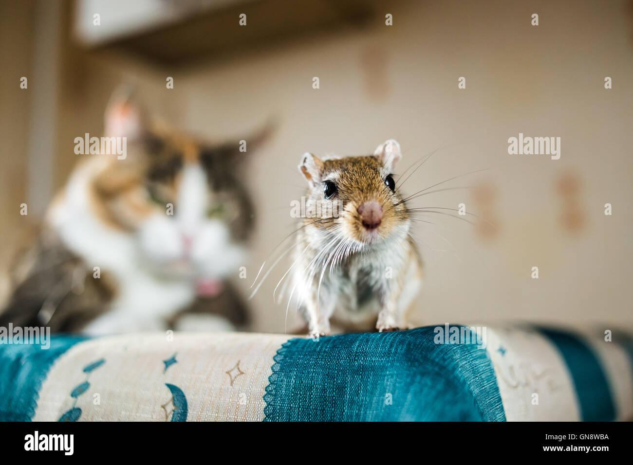 Mongolische Rennmaus Maus und die Katze auf Hintergrund. Konzepte der Beute, Nahrung, Pest, Wechselbeziehung, Hilfe, Stockbild