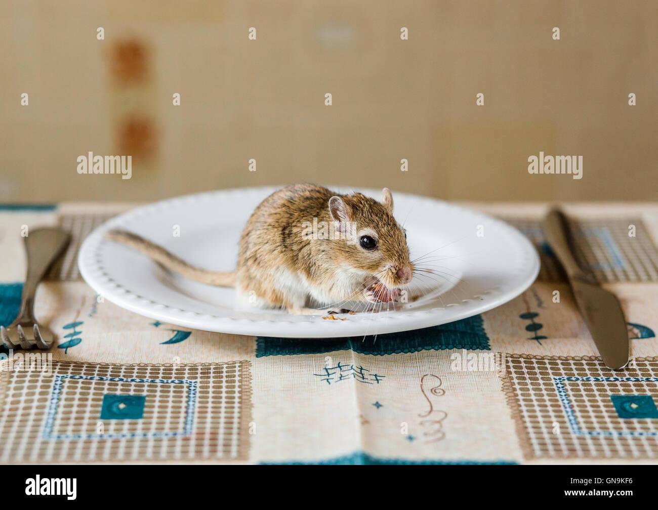 Mongolische Rennmaus Ehave Abendessen auf dem Tisch Stockbild
