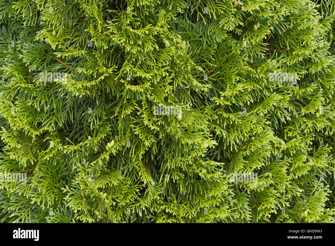 conifer hedges stockfotos conifer hedges bilder alamy. Black Bedroom Furniture Sets. Home Design Ideas