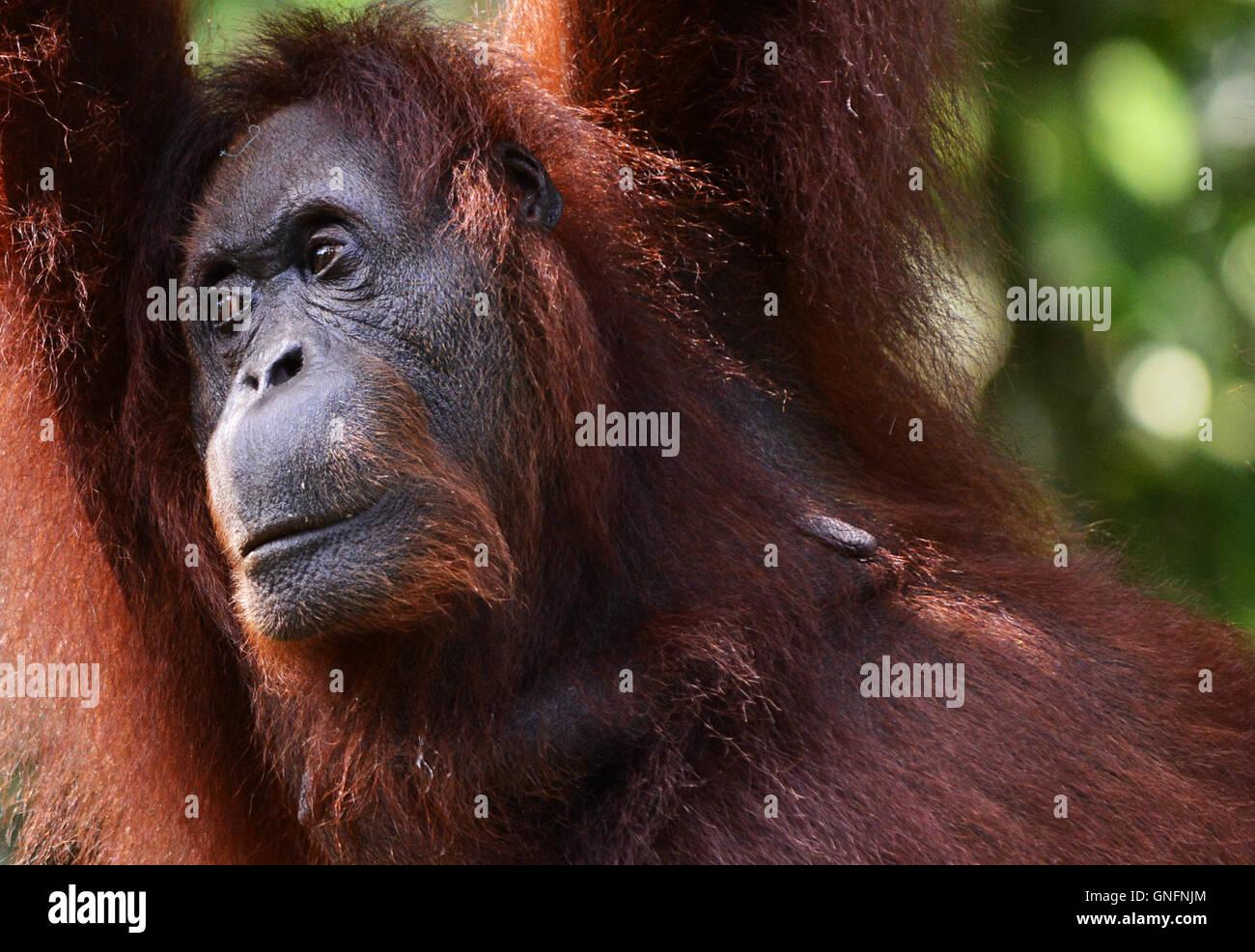 Portrait einer weiblichen Orang-Utan. Stockbild
