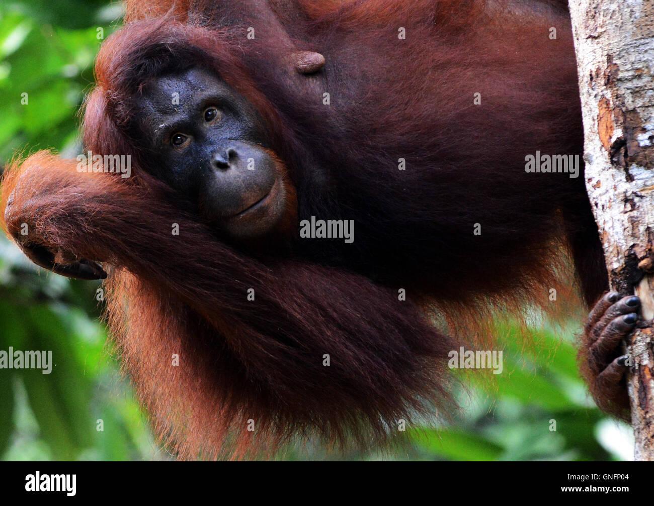 Ein weiblicher Orang-Utan im Semenggoh Nature reserve in der Nähe von Kuching in Sarawak. Stockbild