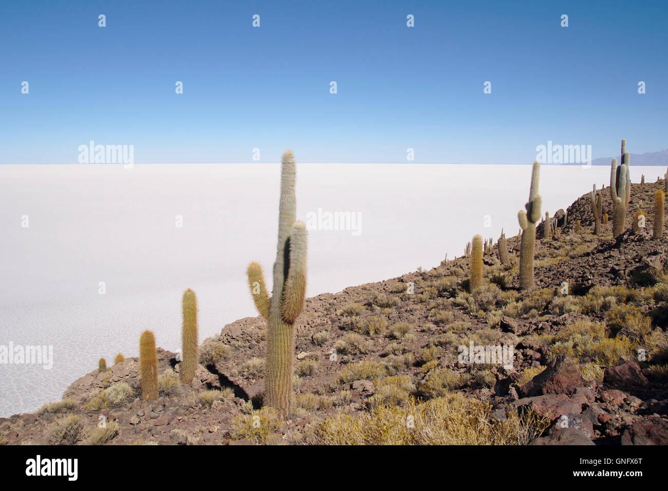 Kakteen (Trichocereus nomenklatorisches) auf Isla Incahuasi mit Salar de Uyuni, Bolivien Stockbild