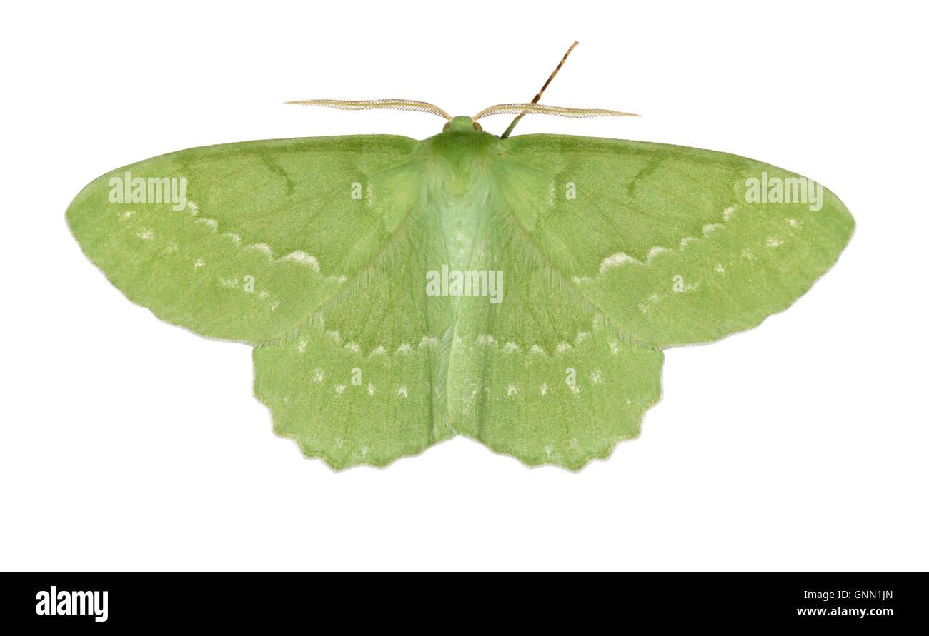 Großer Smaragd - Geometra Papilionaria 70.299 (1666) Stockbild