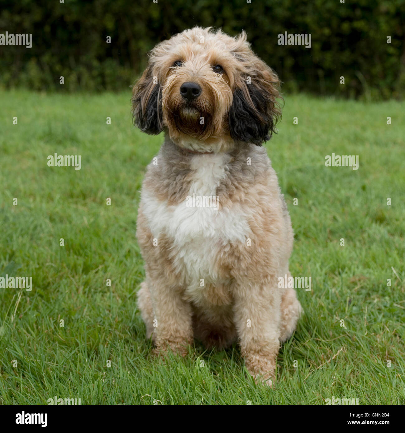 Cockapoo Stockbild