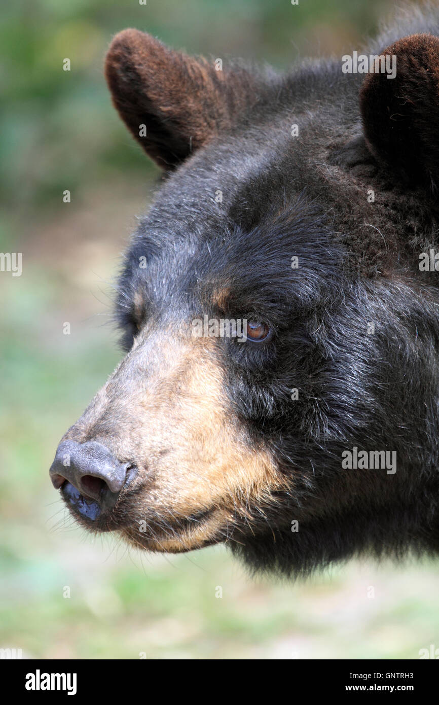 Amerikanischen Schwarzbären, Ursus Americanus in der Popcorn Park Zoo Animal Rescue Sanctuary, Forked River, Stockbild