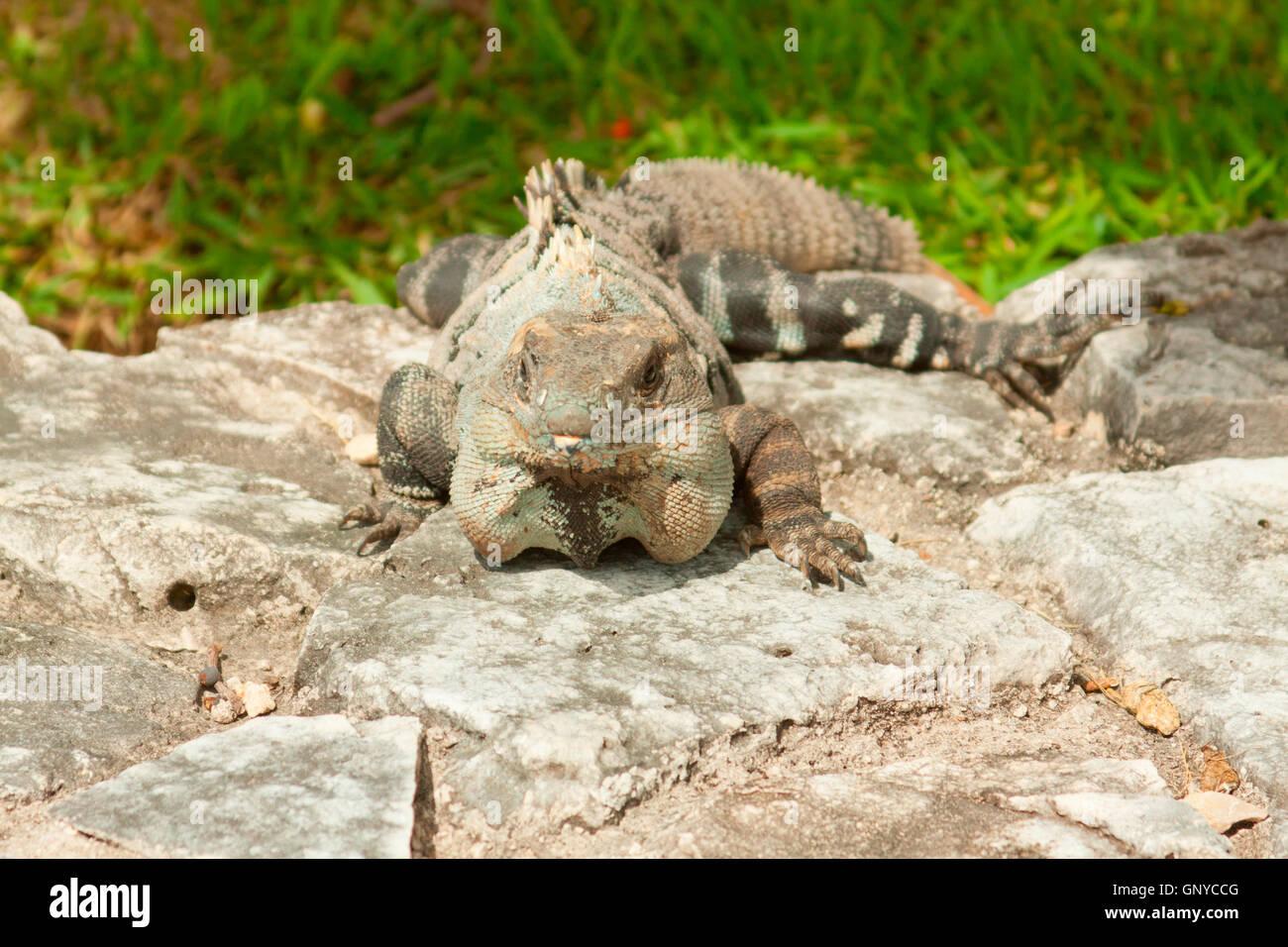Leguan posiert für Fotos in Mexiko. Stockfoto