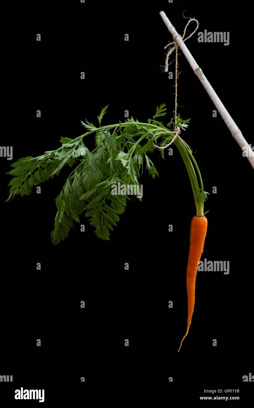 Karotte auf einen Stick mit String gegen einen schwarzen Hintergrund befestigt. Inspirierende Metapher Stockbild