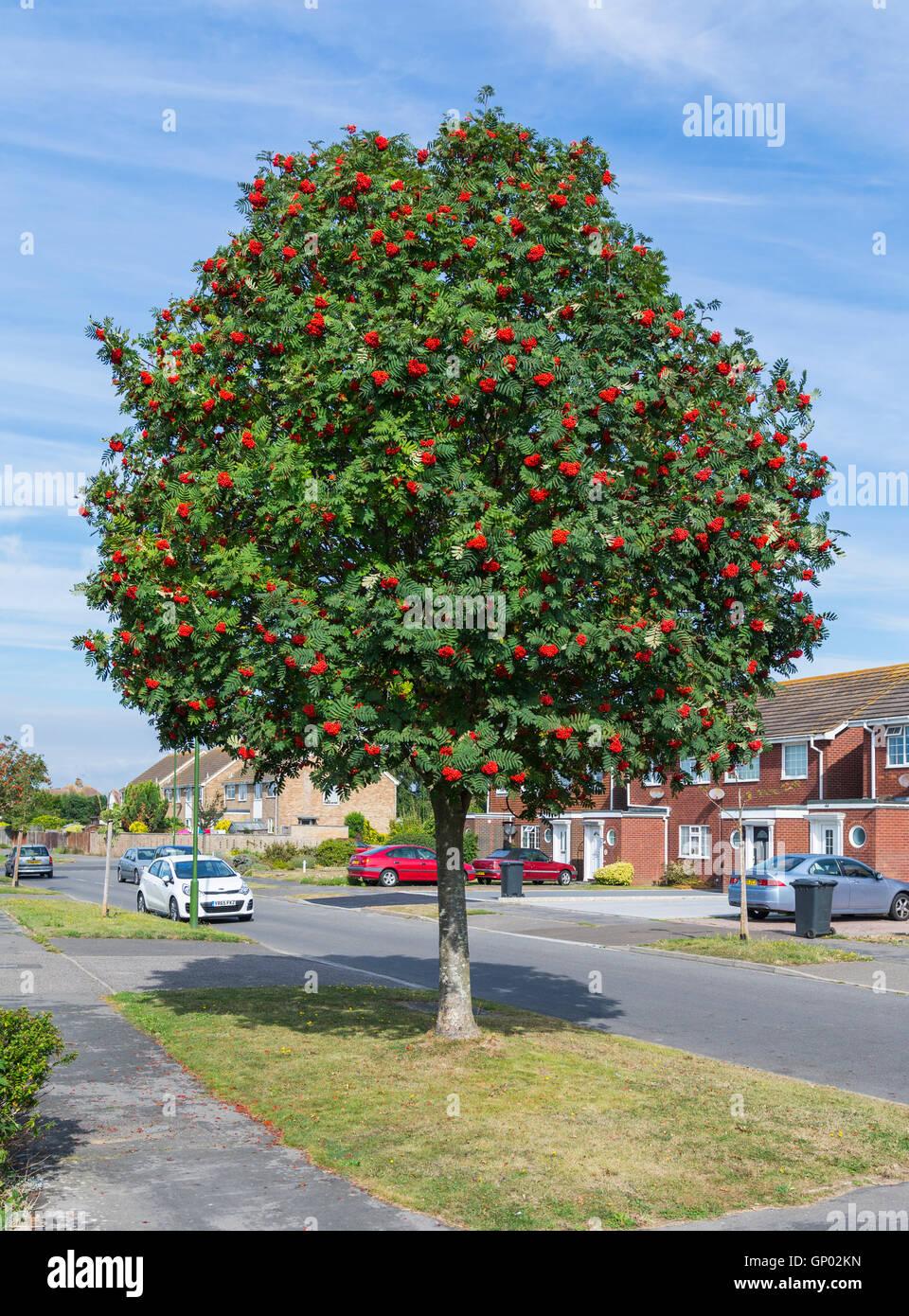 Mountain Ash Tree (Rowan Tree, Sorbus aucuparia) von der Seite der Straße in einem Wohngebiet in England, Großbritannien. Stockbild