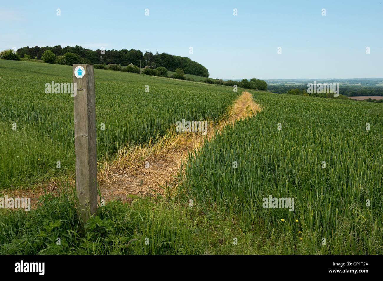 Wanderweg-Zeichen und Weg durch Phasen von Feldinhalten Winterweizen auf den Norden Wessex Downs im Juni Stockfoto