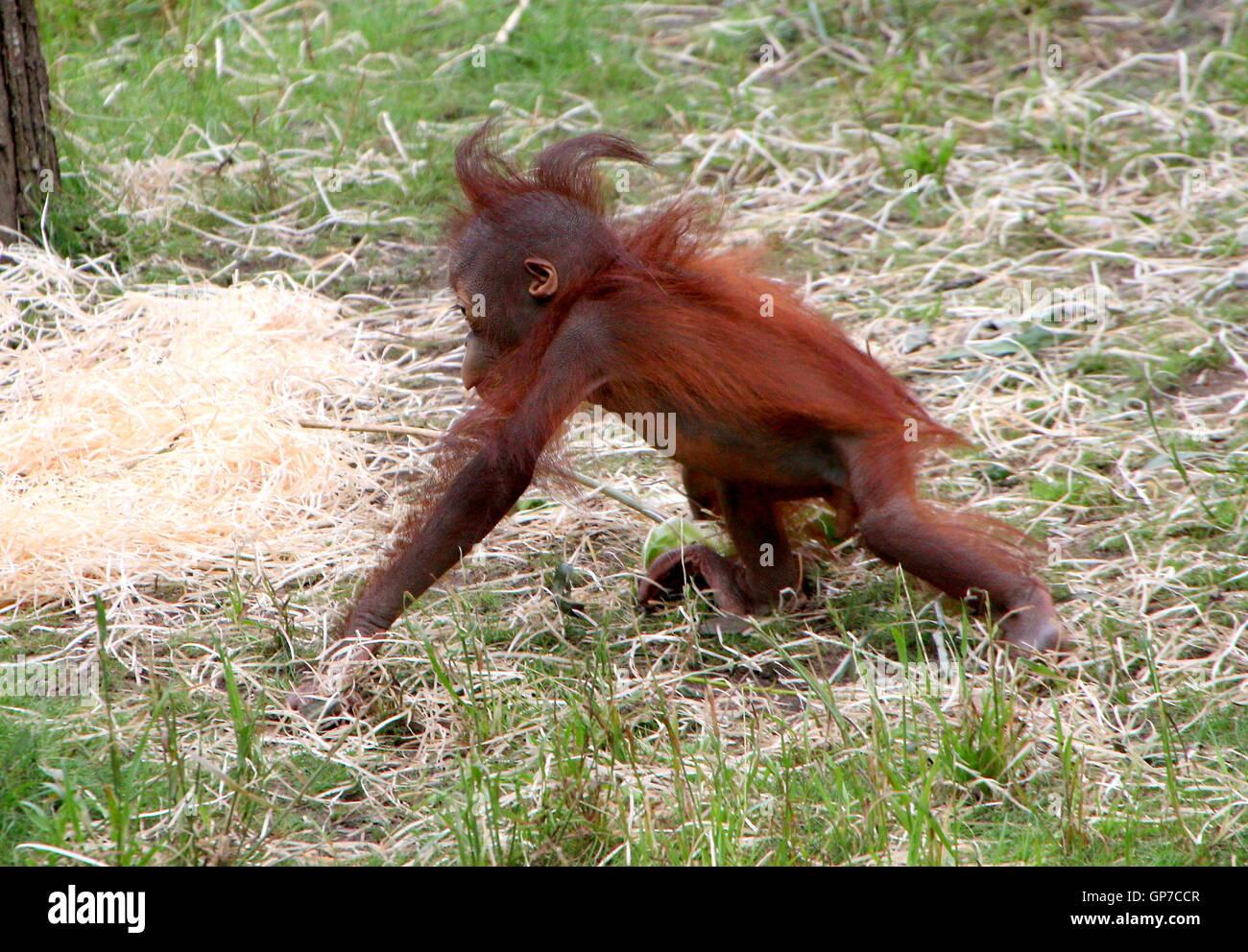 Sechs Monate altes Baby Bornean Orang-Utans (Pongo Pygmaeus) tun ein wenig erkunden Stockfoto