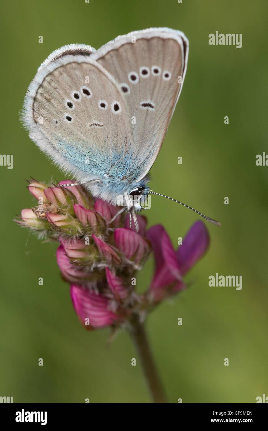 Mazarine Blue (Cyaniris Semiargus) Schmetterling Stockbild