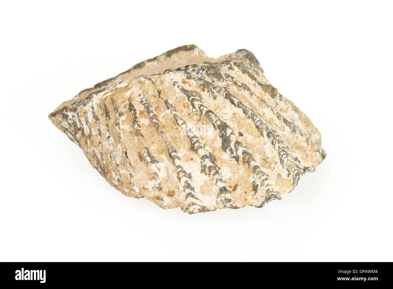 Sehr alte Fossil einer Muschel Stockbild