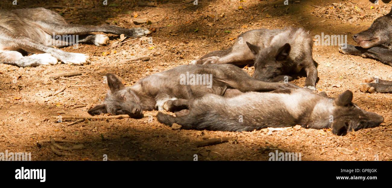 Eine Gruppe von jungen Wölfe Stockbild