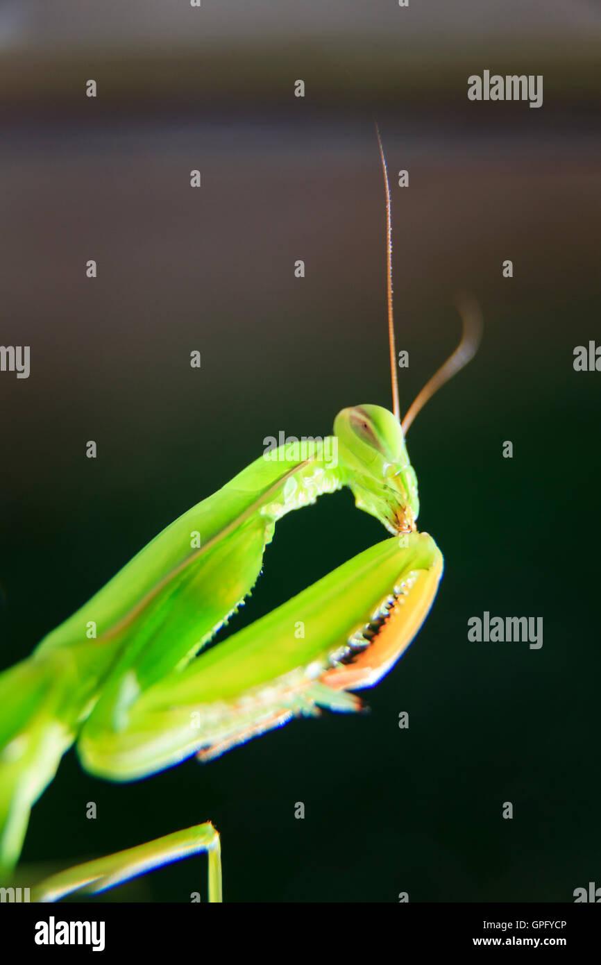 Gottesanbeterin Mantis Religiosa hautnah Stockbild