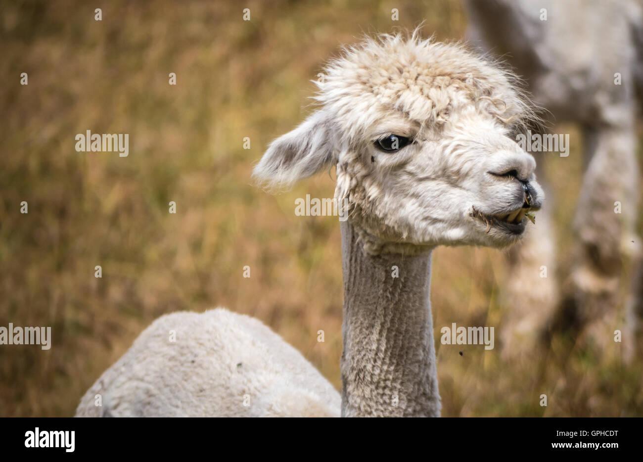 Eine weiße Lama, vor kurzem geschoren, starrt in die Ferne steht er auf einem Feld Gras auf einem Bauernhof Stockbild