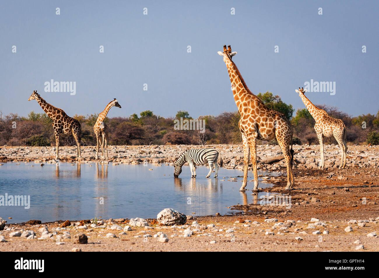 Gruppe von wilden Tieren in der Nähe einer Wasserstelle im Etosha Nationalpark in Namibia; Konzept für Stockbild