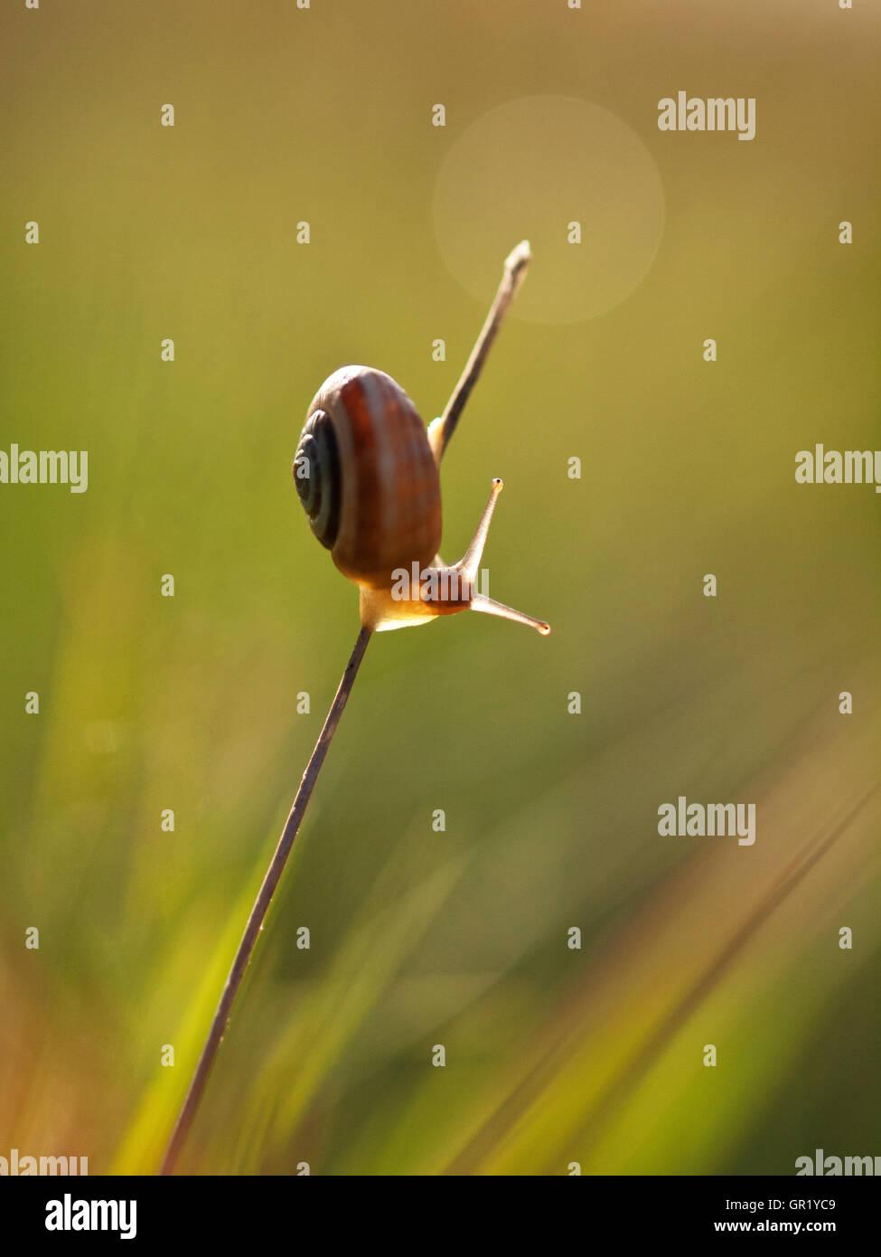 Scrubsnail, stehend auf einem Grashalm und Aufwärmen mit dem Morgenlicht gebändert. Stockfoto