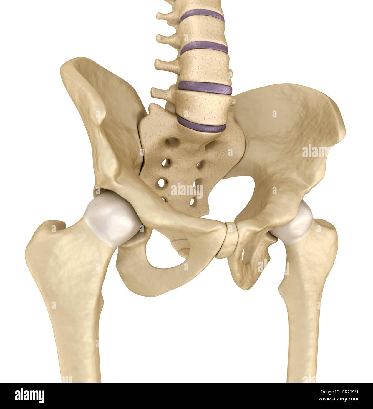 Pelvic Bones Stockfotos & Pelvic Bones Bilder - Seite 2 - Alamy
