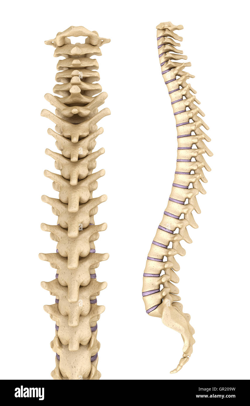 Wirbelsäule Anatomie, 3d render Stockfoto, Bild: 117443477 - Alamy