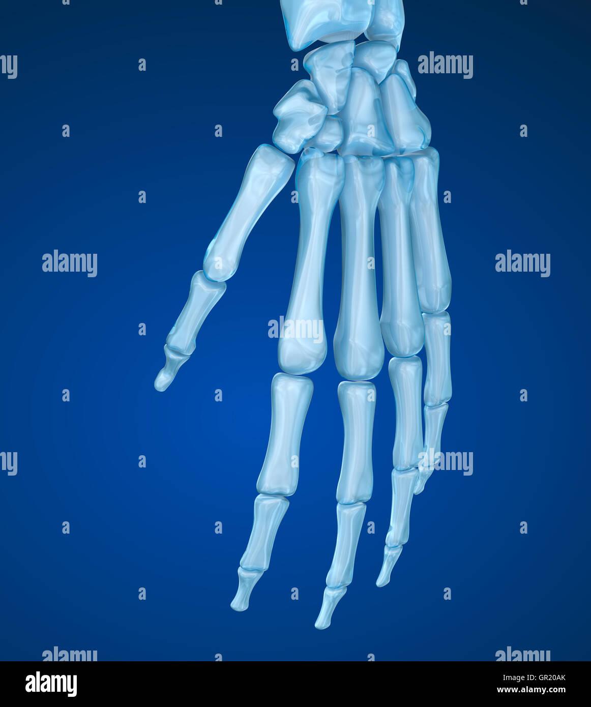 Menschlichen Handgelenk Anatomie. Medizinisch genaue 3D-Illustration ...
