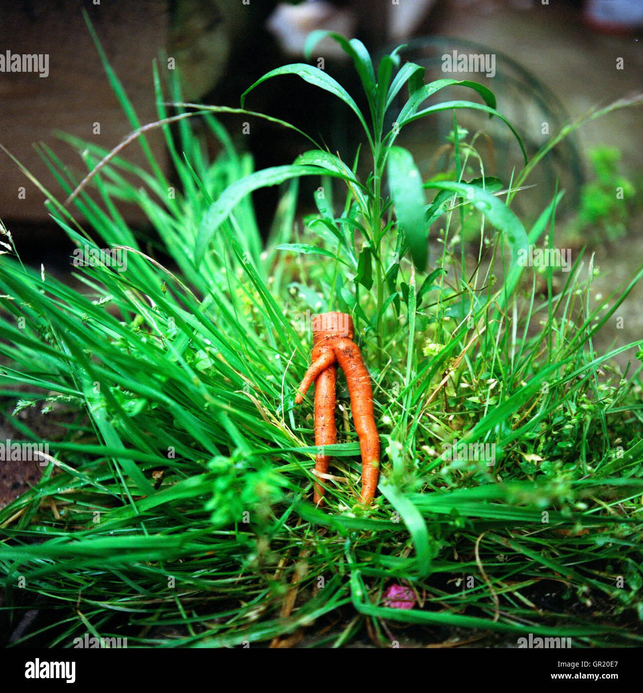 Komödie rohen Karotten. Zu Hause angebaut. Quadratische Bild Karotte ist sehr orange gegen eine sehr grüne Tussock Stockfoto
