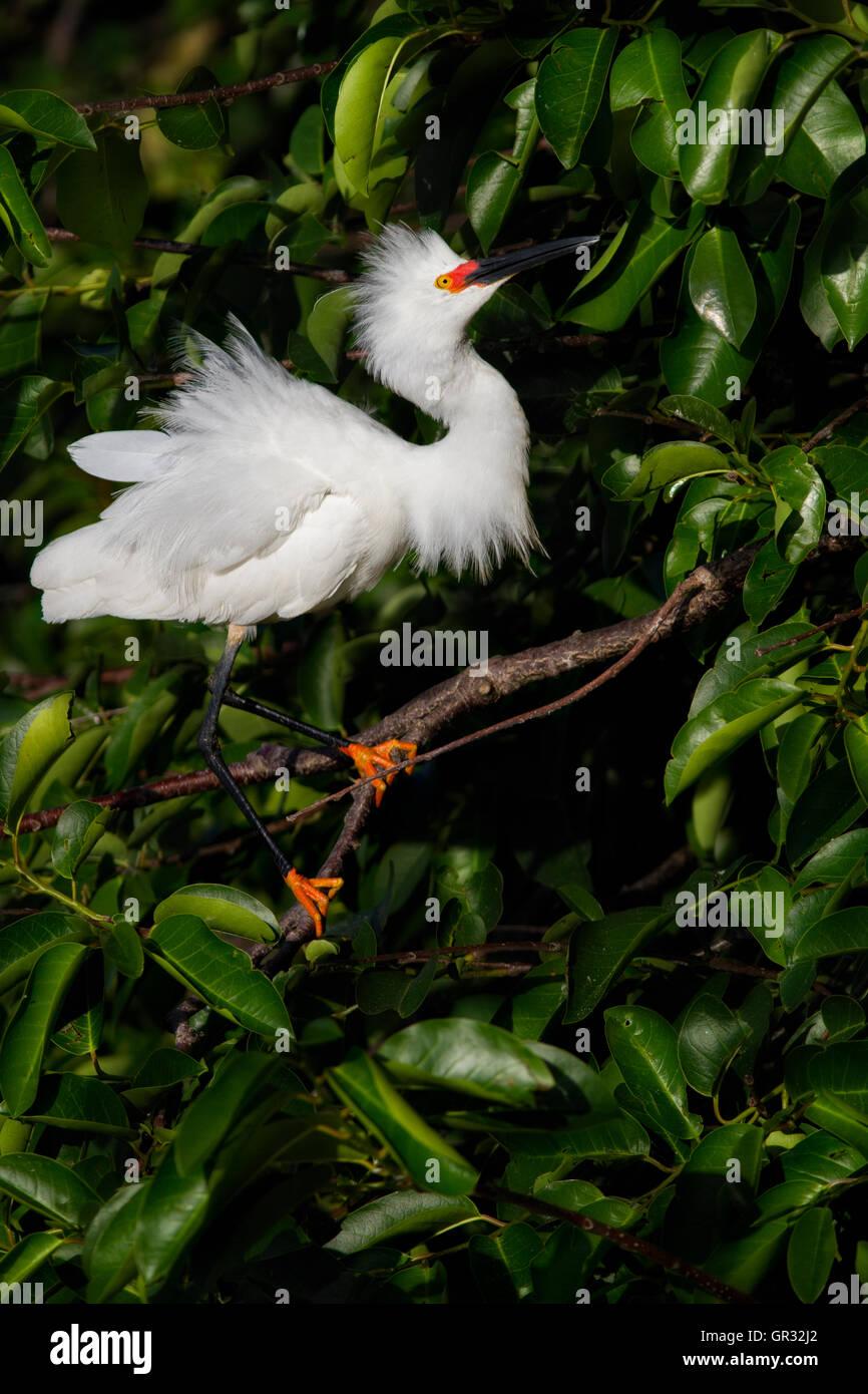Snowy Egret Posen attraktiv auf seinem Teich Apfel Baum Ast; seine weißen Federn Kontrast schön saftig Stockbild