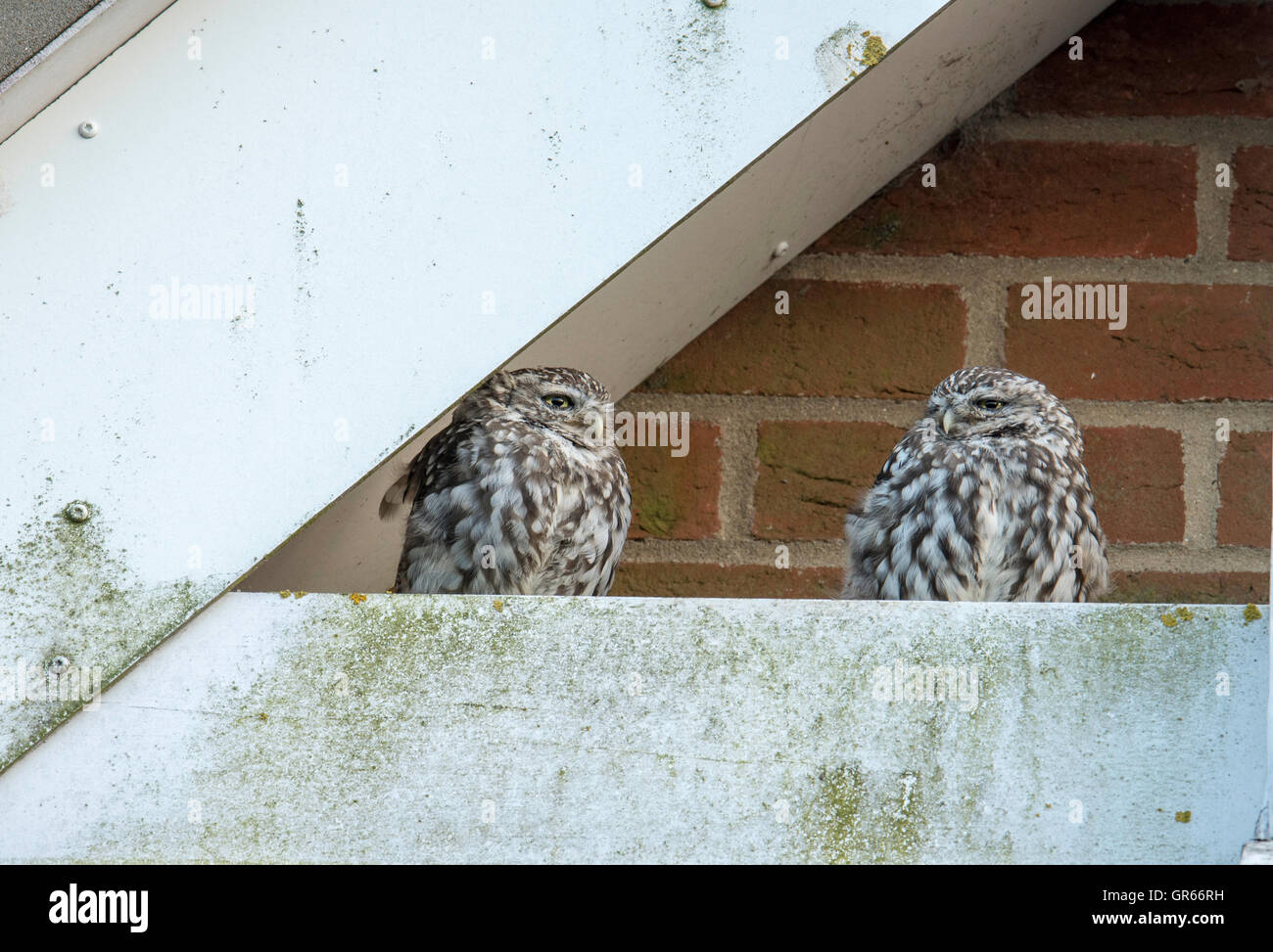 Paar kleine Eulen (Athene Noctua) thront auf einer Giebelseite eines Schulgebäudes. Stockbild