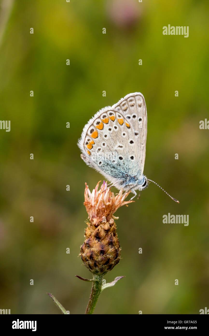 Polyommatus Icarus, gemeinsame blaue Schmetterling aus Niedersachsen, Deutschland Stockfoto
