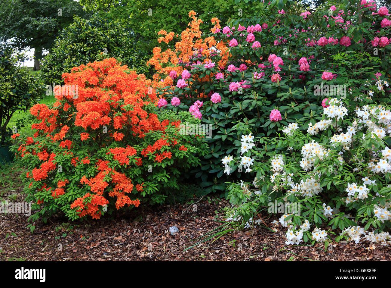 Atemberaubend Rhododendren, Rhododendron, Pflanzen Art aus der Familie der #VQ_39