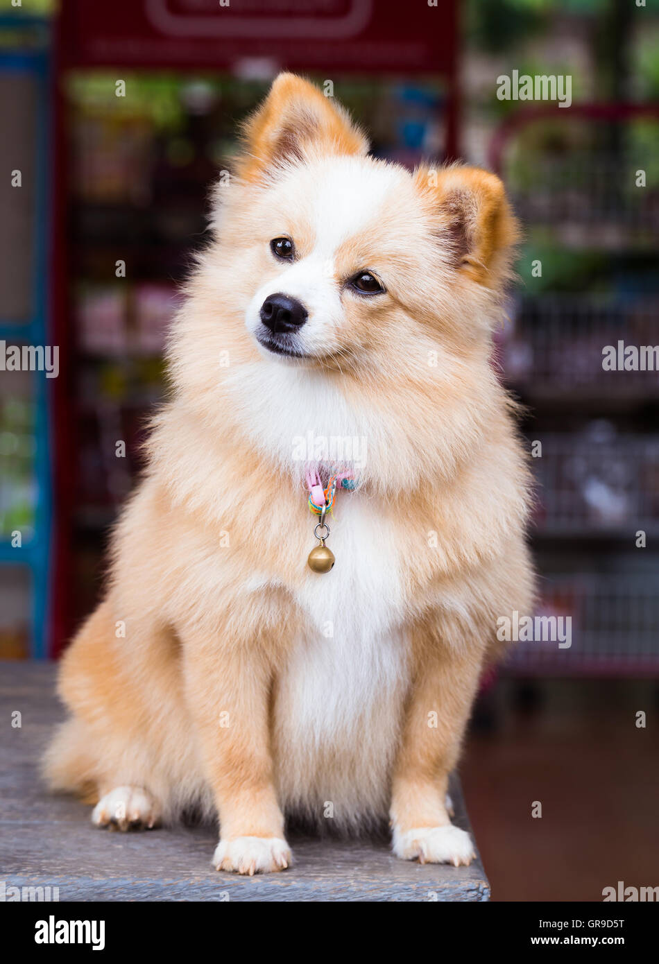 pomeranian and chihuahua mixed deutscher zwergspitz chihuahua mix hund mit braunen 4265