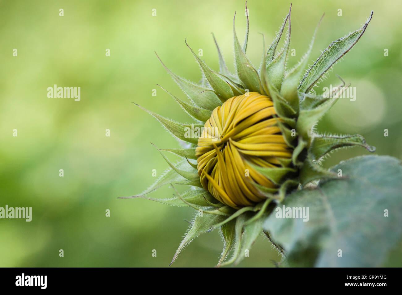 Geschlossene Sonnenblume Helianthus Annuus Stockbild