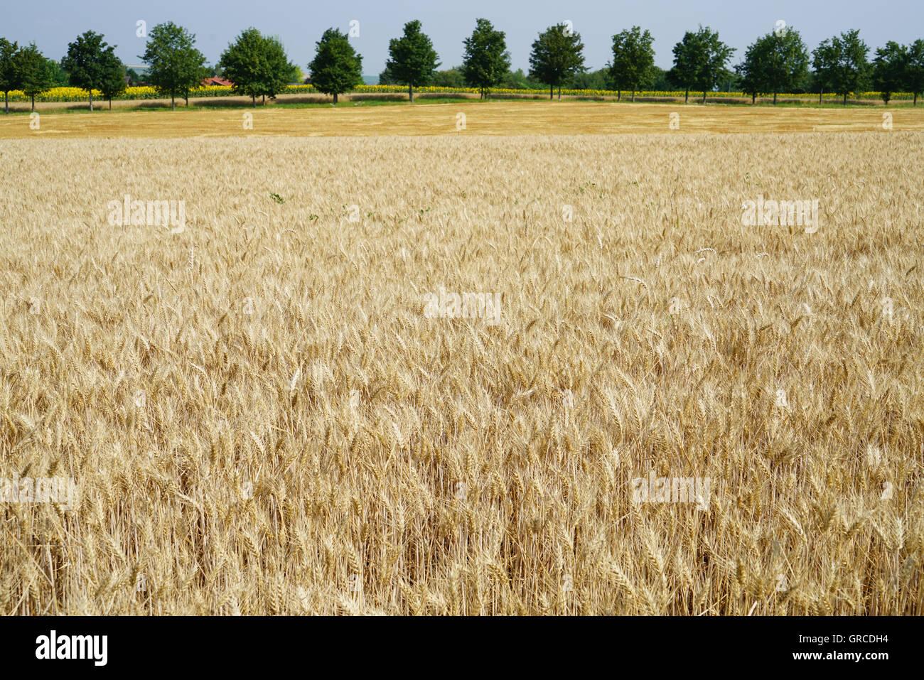 Maisfeld und eine Gasse im Hintergrund Stockbild