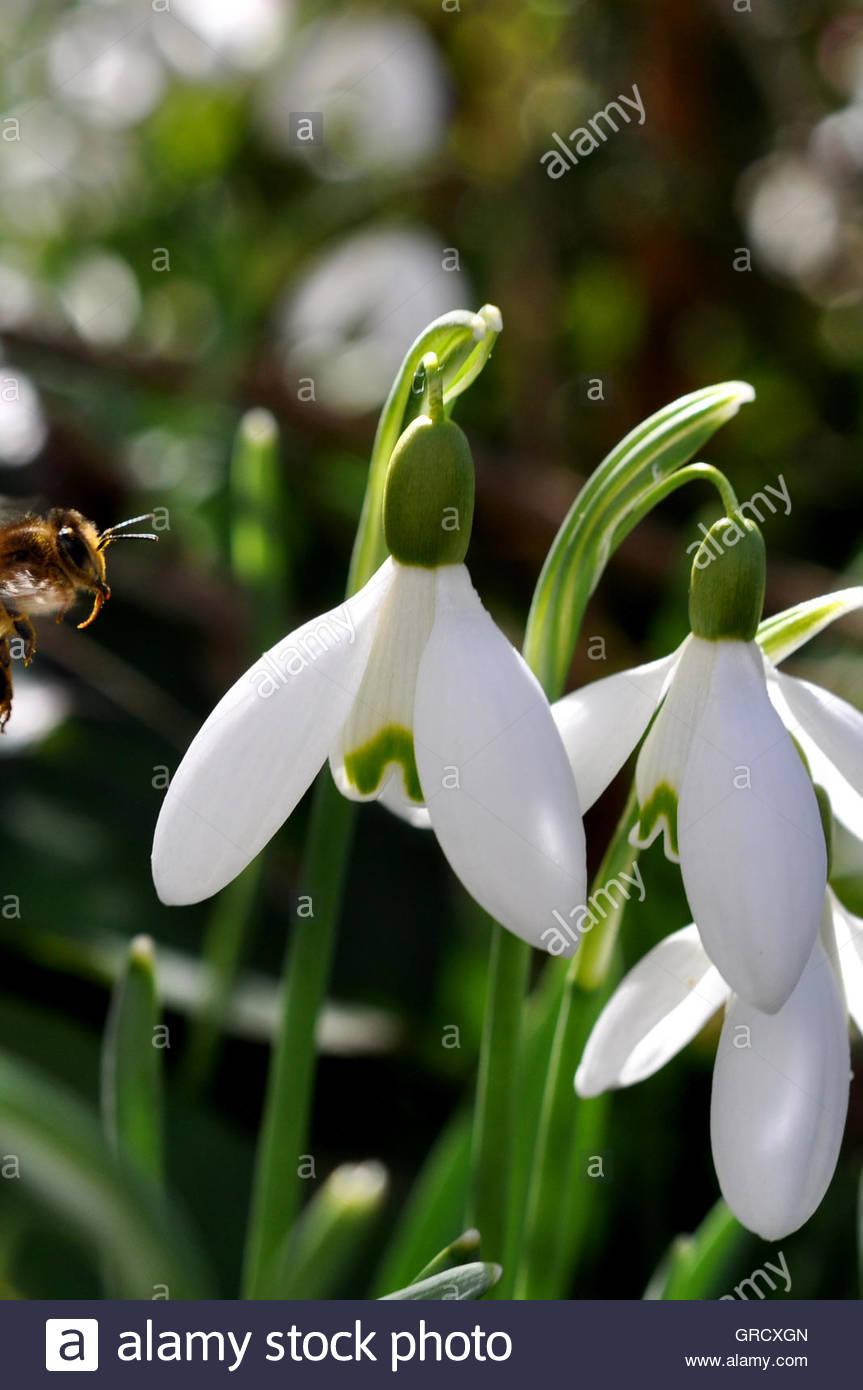 Bienen fliegen in Richtung ein Snowdrop Stockbild