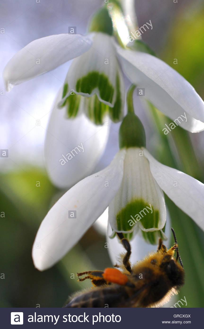 Biene, Trinken Nektar einer Schneeglöckchen Blüte Stockbild