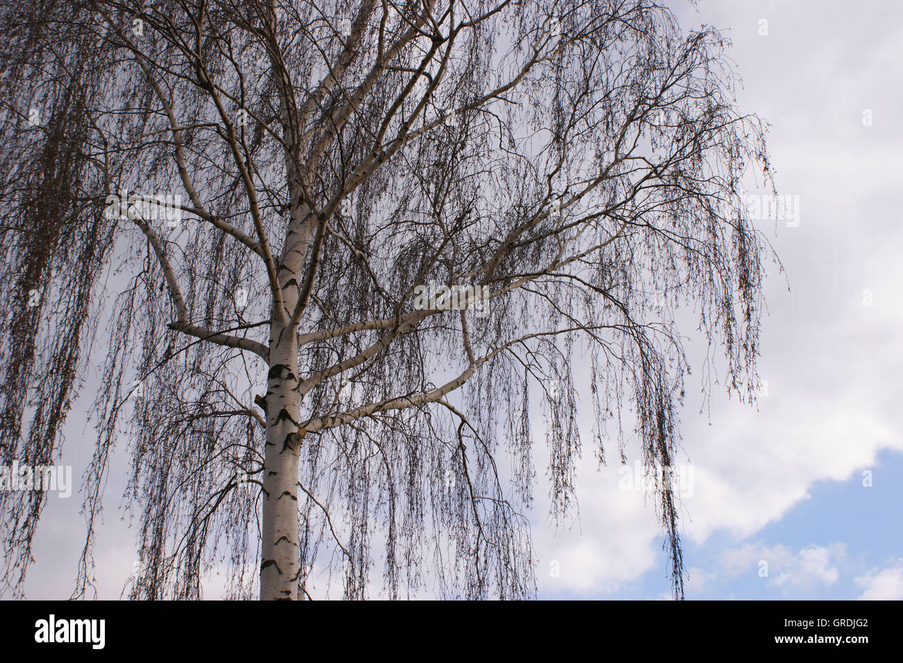 Glatze Birke im Februar Stockbild