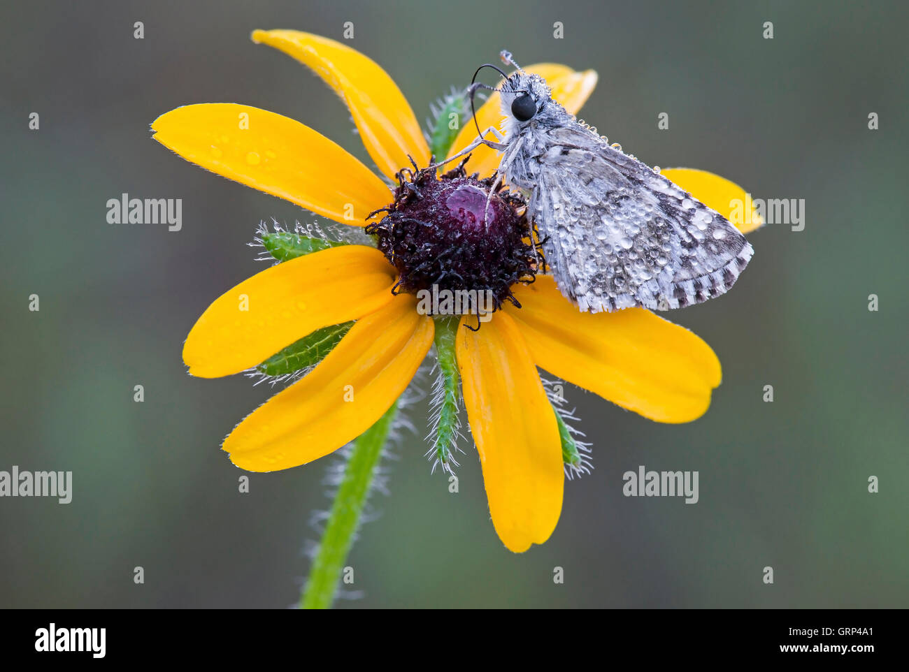 Taufrische gemeinsame Chequered Skipper Schmetterling Schmetterling communis) nectaring, Fütterung auf Black Stockbild