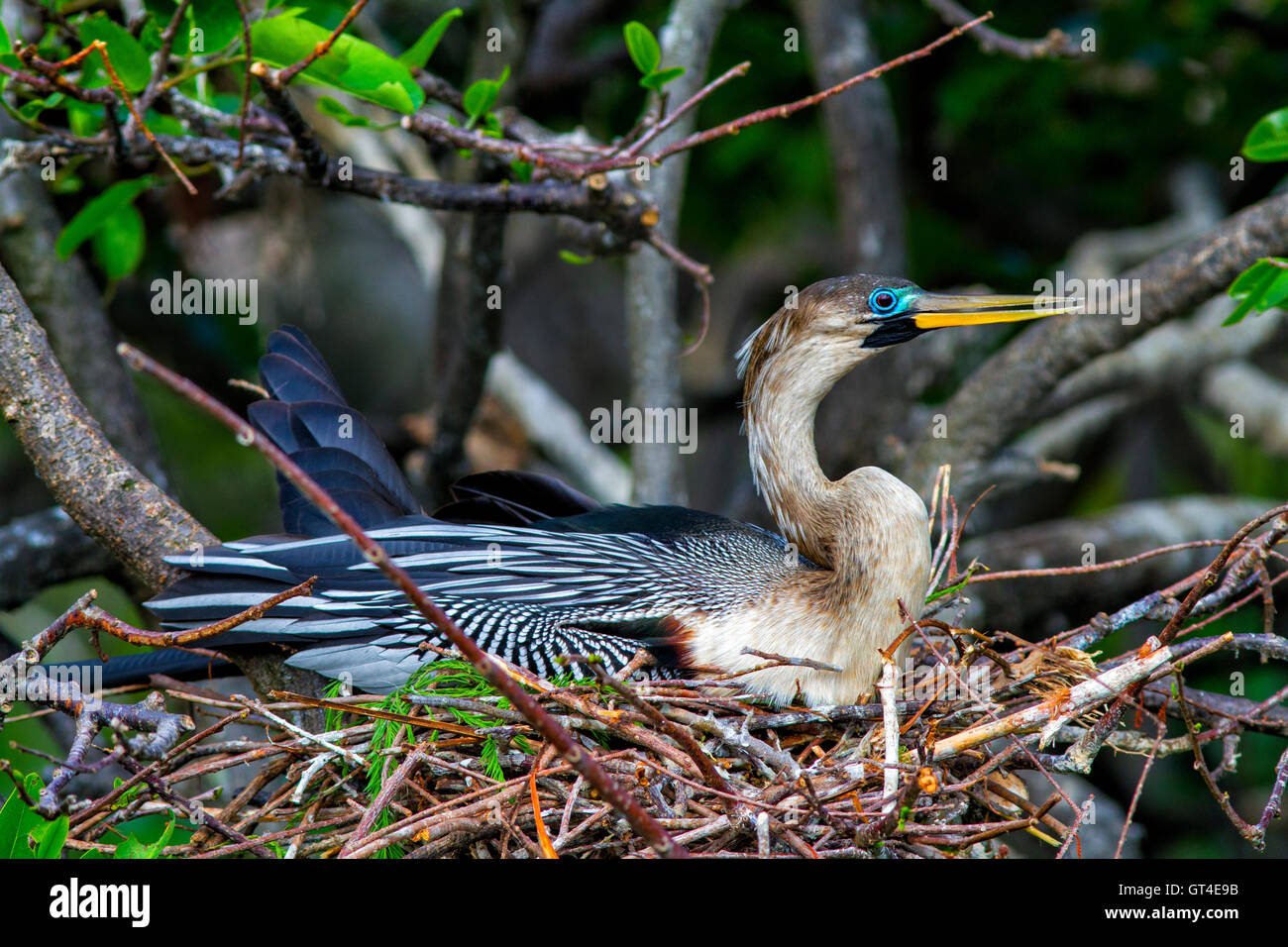 Weibliche Anhinga ordnet Zweigen sitzend auf ihrem Nest ausbrüten von Eiern. Sie stellt die leuchtende blaue Stockbild