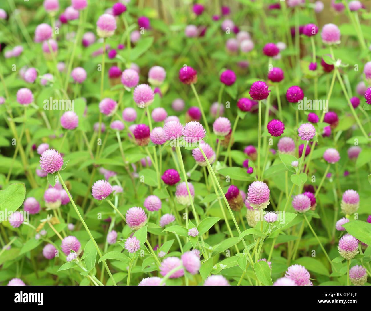 Globe Amaranth oder Gomphrena globosa Stockfoto