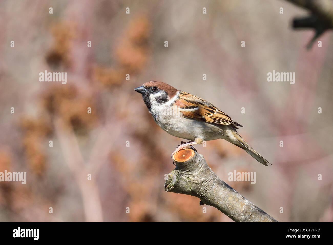 Eurasische Tree sparrow Stockfoto