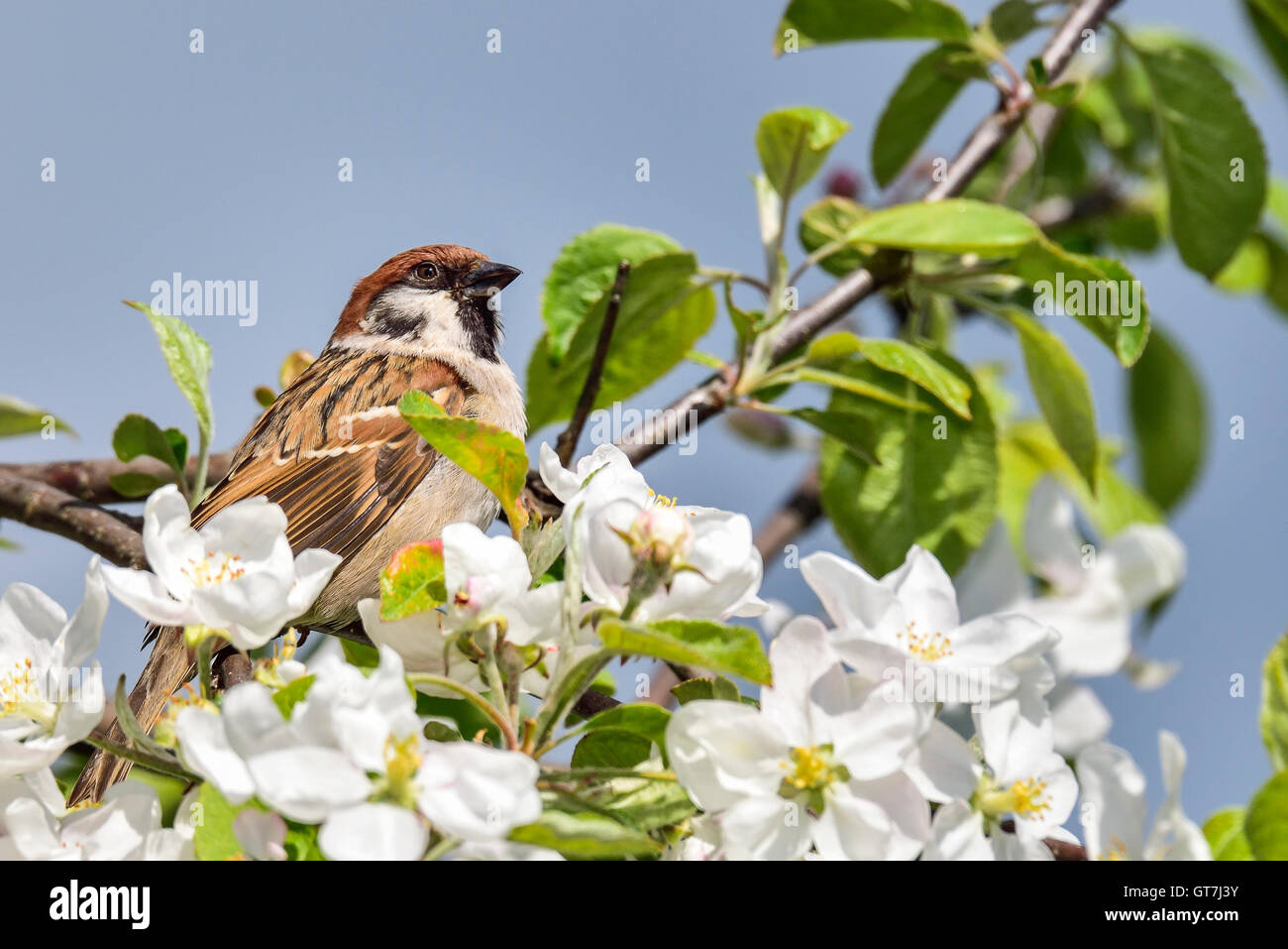 Eurasische Tree sparrow Stockfoto
