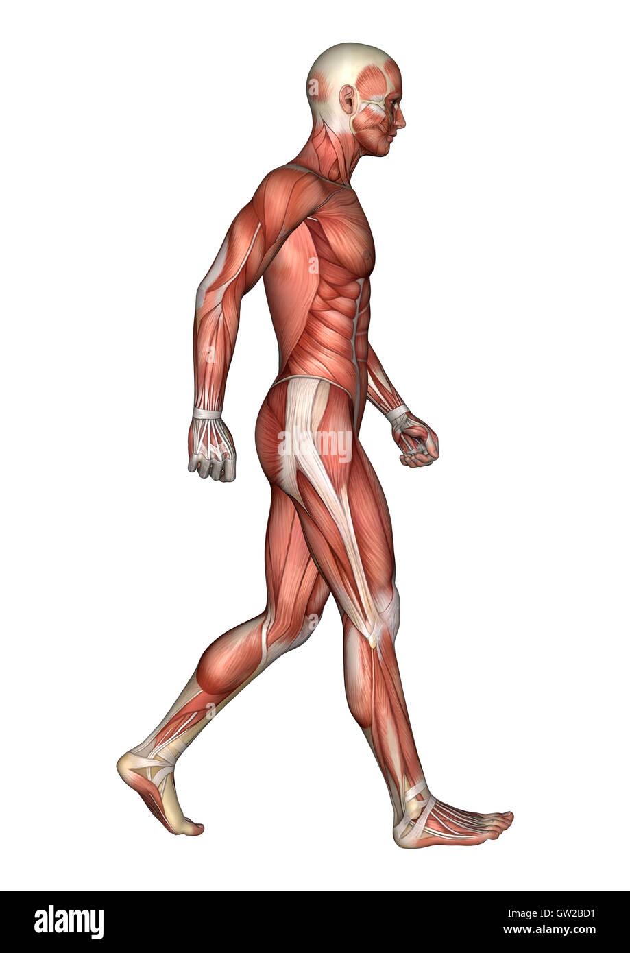 Tolle Anatomie Studie Karten Bilder - Anatomie Von Menschlichen ...