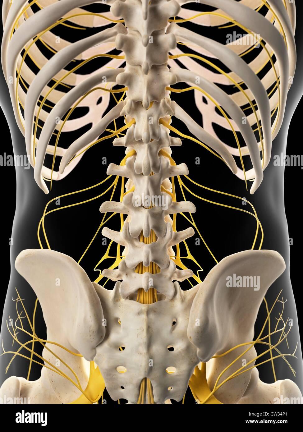 Beste Anatomie Und Physiologie Des Bauches Fotos - Menschliche ...