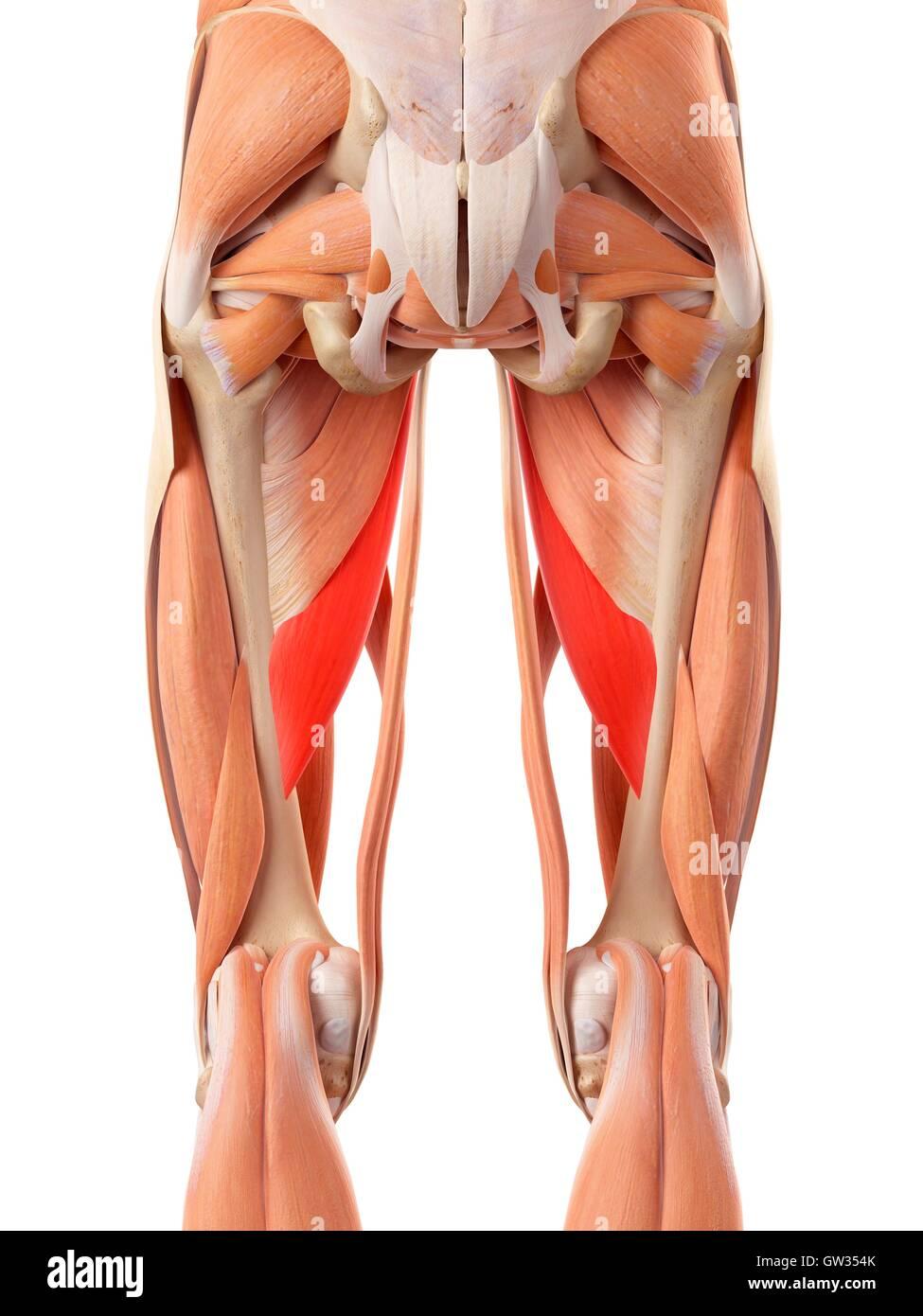 Menschliche Muskulatur der Beine, Abbildung Stockfoto, Bild ...