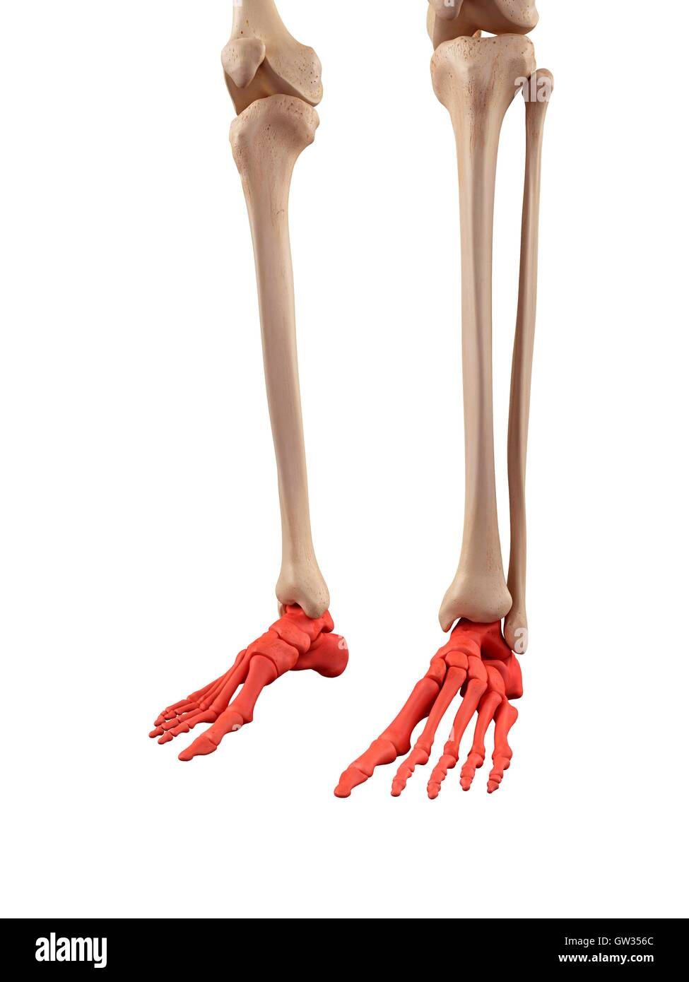 Anatomy Bones Feet Stockfotos & Anatomy Bones Feet Bilder - Alamy