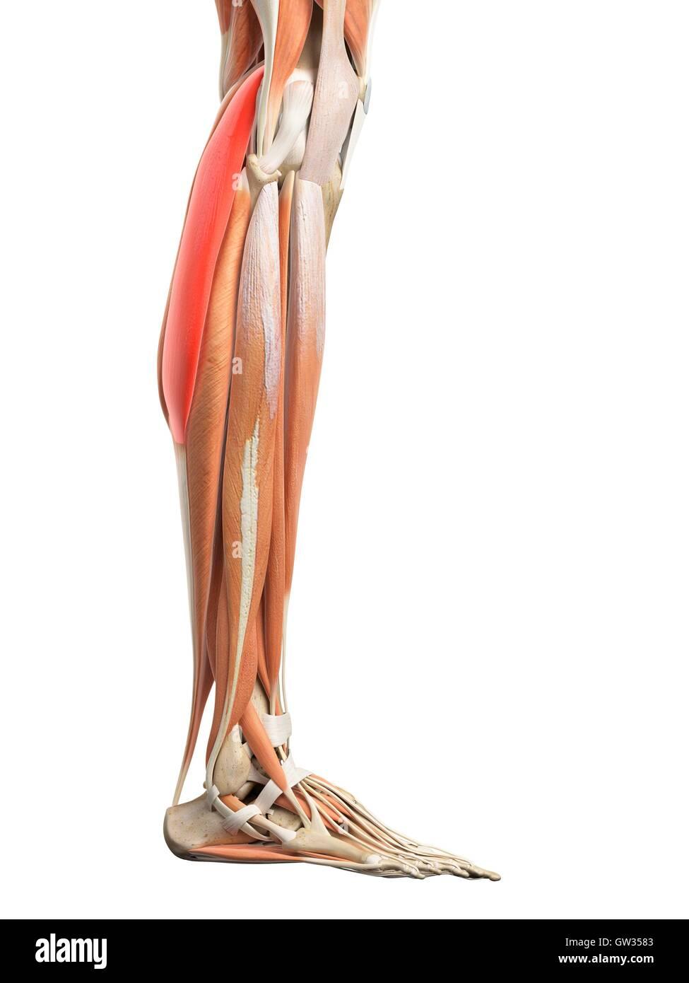 Ungewöhnlich Beinmuskel Diagramm Anatomie Galerie - Physiologie Von ...
