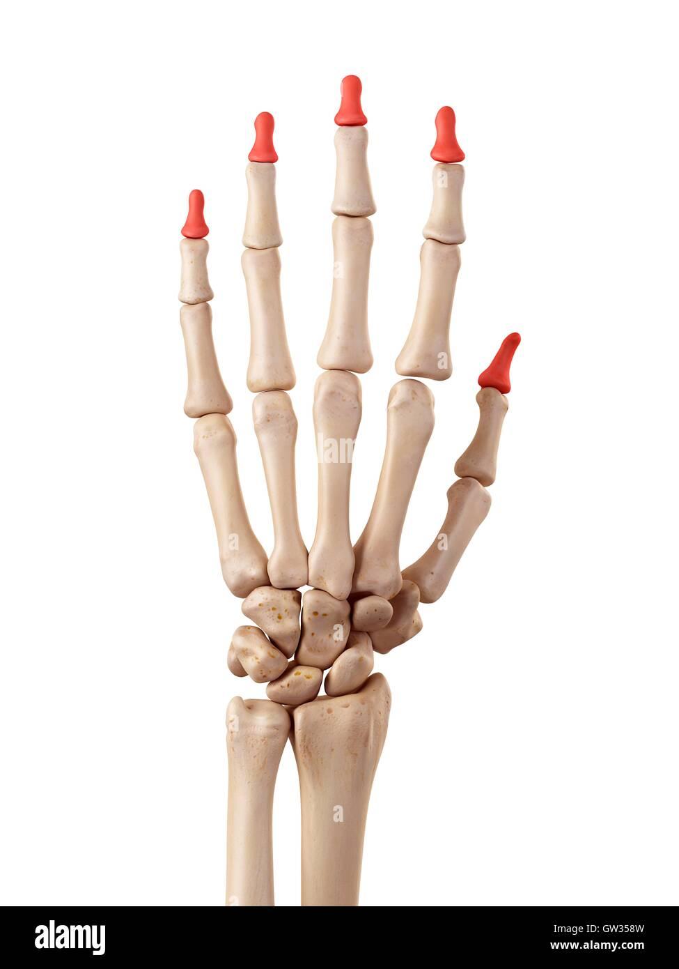 Menschliche Hand Knochen, Abbildung Stockfoto, Bild: 118698633 - Alamy