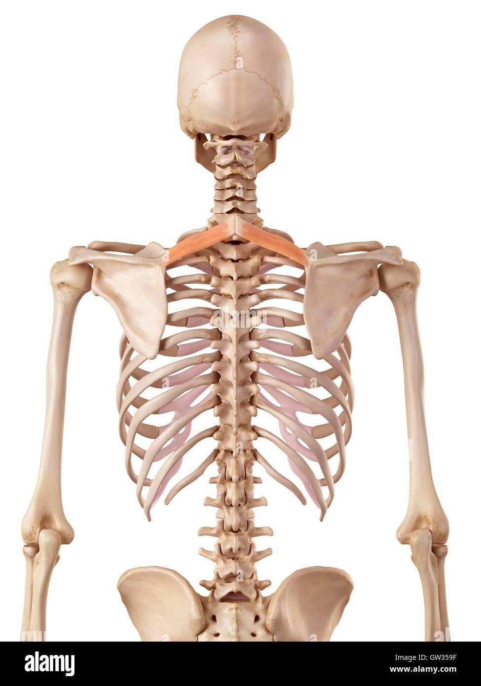 Menschliche Rückenmuskulatur, Abbildung Stockfoto, Bild: 118698651 ...