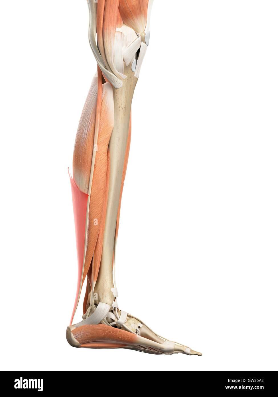 Menschliches Bein Sehne, Abbildung Stockfoto, Bild: 118698666 - Alamy