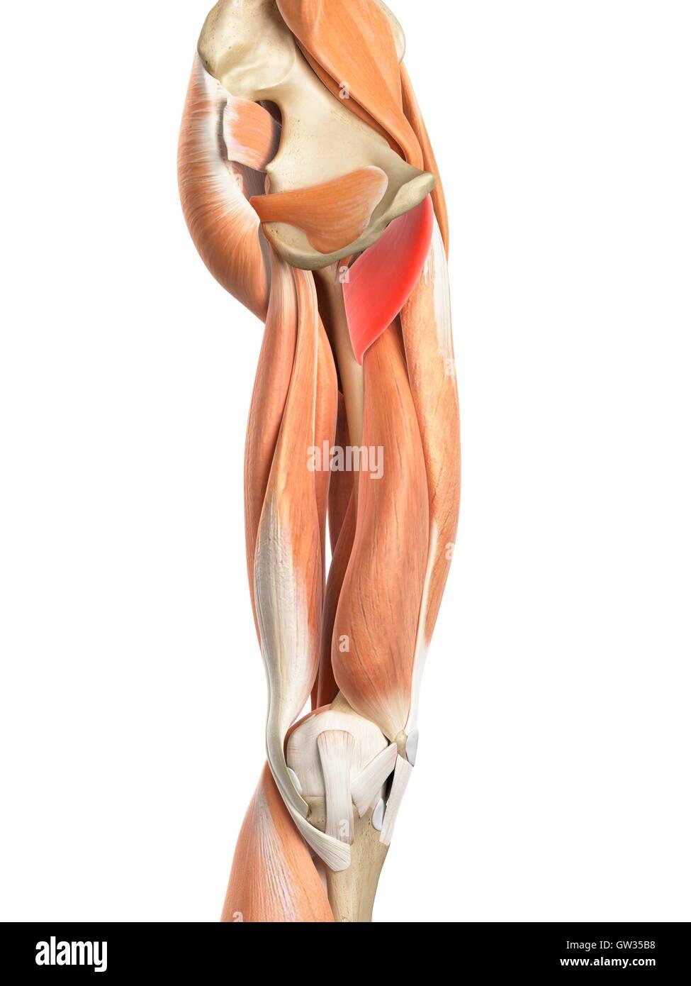 Menschliches Beinmuskeln, Abbildung Stockfoto, Bild: 118698700 - Alamy