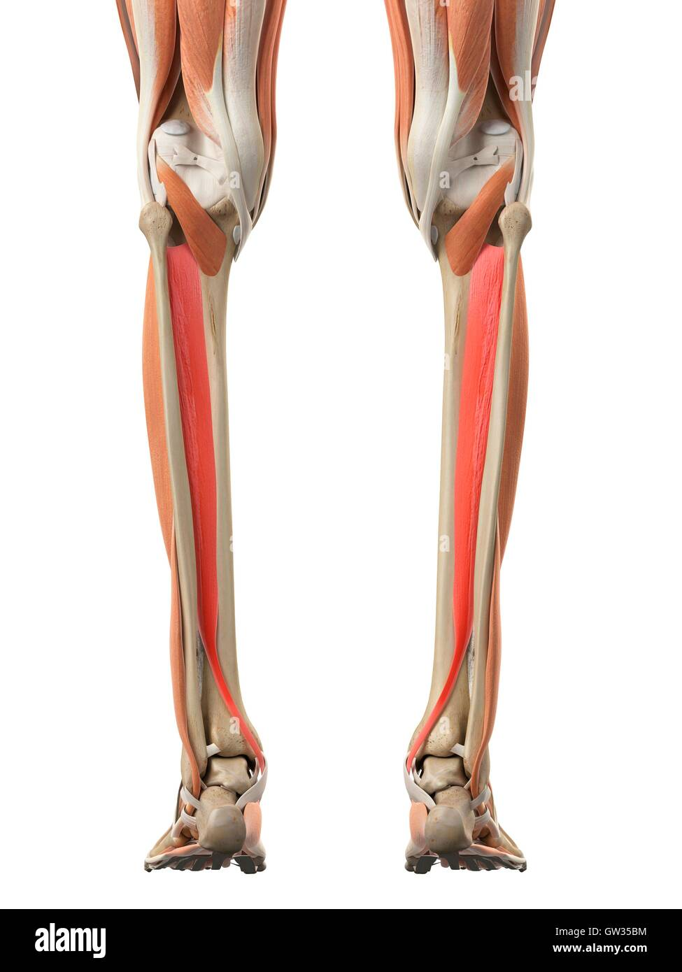 Erfreut Alle Beinmuskeln Bilder - Menschliche Anatomie Bilder ...